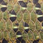 Canterbury Spotted Skink, Oligosoma lineoocellatum. Canterbury.