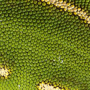 Yellow-lipped Green Gecko, Naultinus flavirictus. Northland.