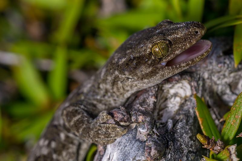 Waitaha Gecko, Woodworthia cf. brunnea. Canterbury.