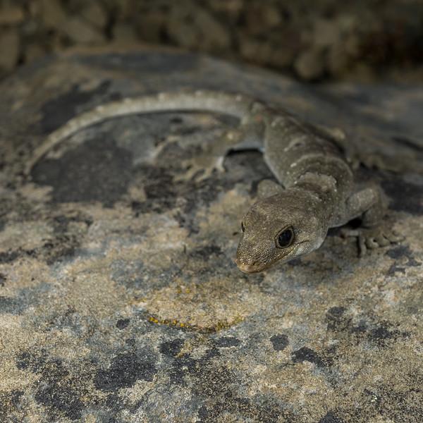 Black-eyed Gecko, Mokopirirakau kahutarae. Kaikoura.