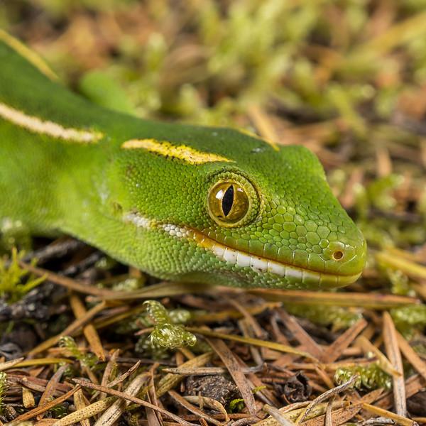 Yellow-lipped Green Gecko, Naultinus flavirictus. Northland