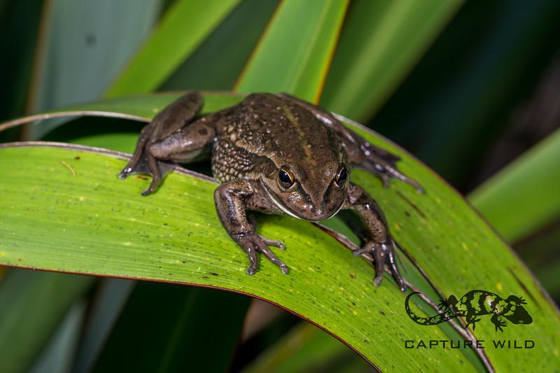 Growling Grass Frog, Ranoidea raniformis. Northland.