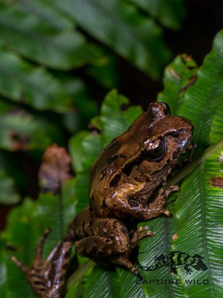 Archey's Frog, Leiopelma archeyi. Coromandel.