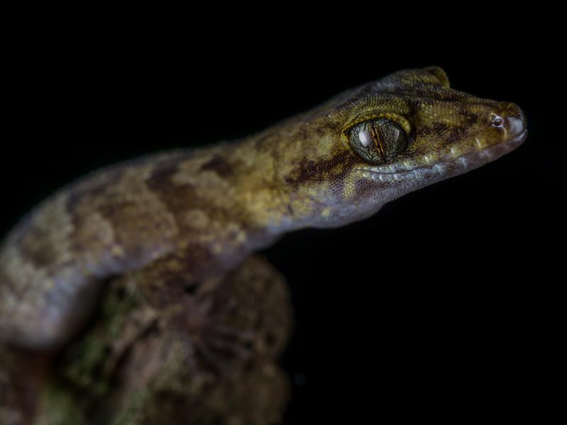 Pacific Slender-toed Gecko, Nactus pelagicus. Niue.