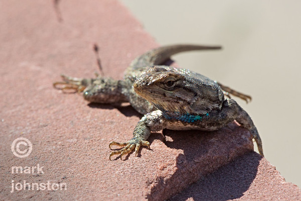 Western Fence Lizard, Sceloporus occidentalis, in Lyons, Colorado