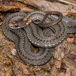 Northern Redbelly Snake, Storeria occipitomaculata occipitomaculata. West Virginia.