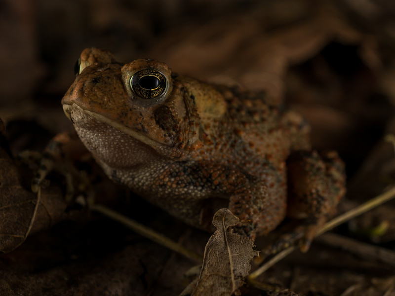 American Toad, Anaxyrus americanus. Pennsylvania.