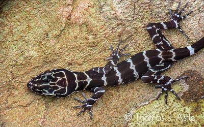 Juvenile giant bent-toe gecko (Cyrtodactylus consobrinus), Malaysian Borneo