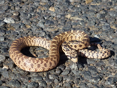 Young Gopher Snake