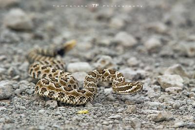 Young Rattlesnake