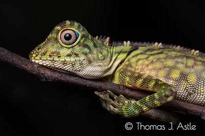 Juvenile Gonocephalus sp. lizard, found sleeping at night; Danum Valley, Borneo