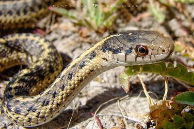 Young Western Terrestrial Garter Snake