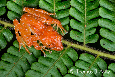 Cinnamon frog (Nyctixalus pictus), Malaysian Borneo