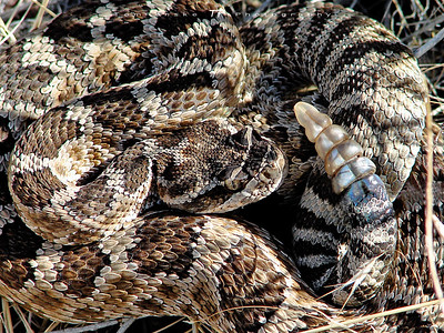 Western Rattlesnake