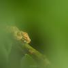 Eyelash pit viper - Bocaraca