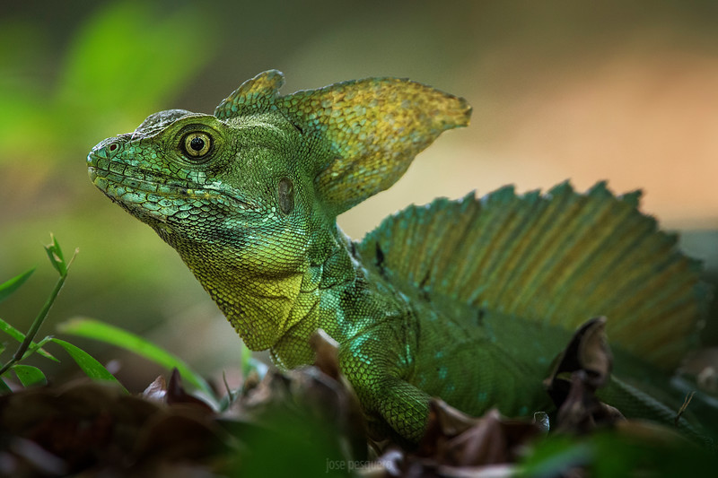 Plumed Basilisk (Costa Rica)