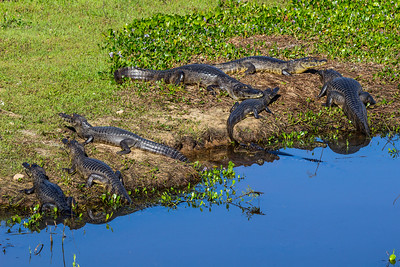 Caiman of the Pantanal, Brazil-44.jpg