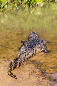 Caiman of the Pantanal, Brazil-46.jpg