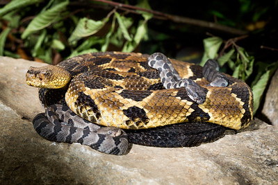 Timber Rattlesnake - with two day old babies (Crotalus horridus). Showing parental care. Rhode Island, USA. Photographed as part of a captive breeding and release programme, Roger Williams Park Zoo, RI.