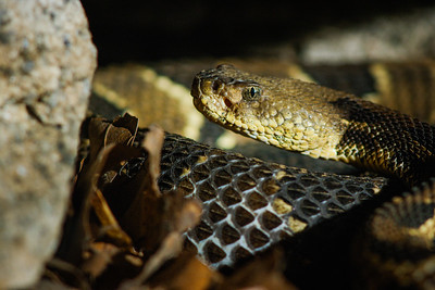 Female Timber Rattlesnake - (Crotalus horridus) Rhode Island, USA. Photographed as part of a captive breeding and release programme, Roger Williams Park Zoo, RI.