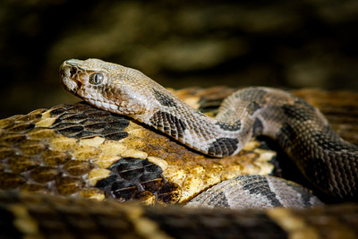 Timber Rattlesnake - with two day old babies (Crotalus horridus) Rhode Island, USA. Photographed as part of a captive breeding and release programme, Roger Williams Park Zoo, RI.