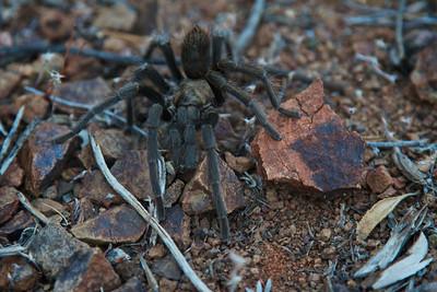 Male tarantula in search of a mate.
