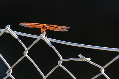 Orange dragonfly perched on a chain link fence.