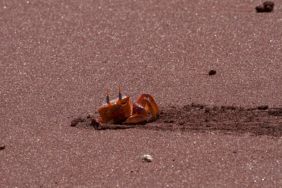 Ghost Crab, Galapagos Islands