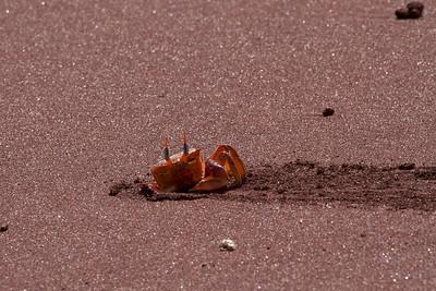 Ghost Crab, Galapagos Islands
