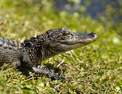 Reptiles - Gators