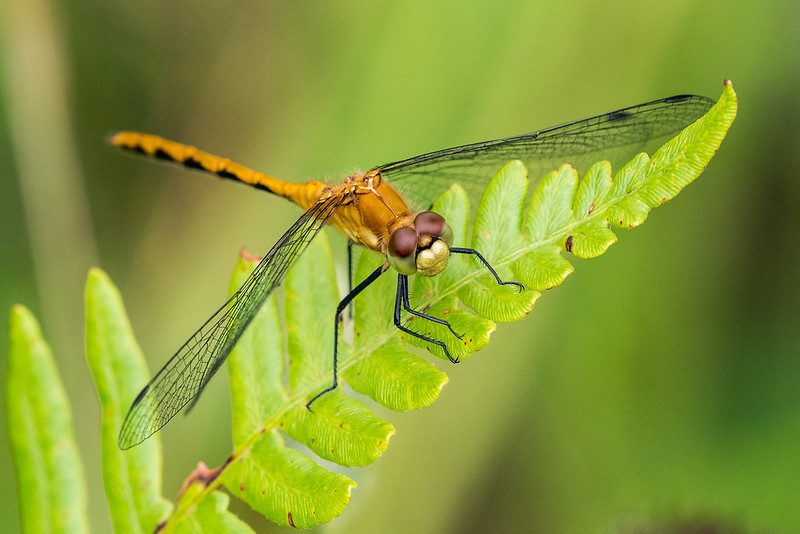 Orange meadowhawk dragonfly (Sympetrum spp.)