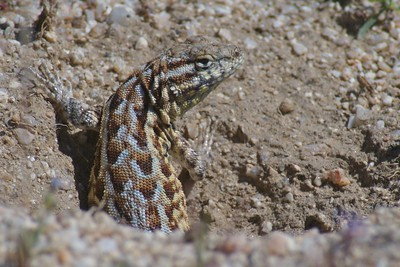 Northern Sagebrush Lizard (Sceloporus graciosus graciosus) [March; California Poppy Reserve, Southern California]