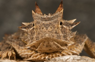 "Many folks know them as ""horny toads"" but these cute critters are actually lizards, Texas Horned Lizards to be exact (Phrynosoma cornutum). They are declining across Texas for unknown reasons [April; Sick Dog Ranch near Alice, Texas]"