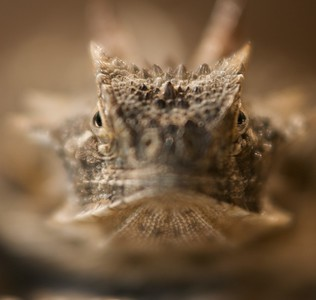 """Many folks know them as """"horny toads"""" but these cute critters are actually lizards, Texas Horned Lizards to be exact (Phrynosoma cornutum). They are declining across Texas for unknown reasons [April; Sick Dog Ranch near Alice, Texas]"""