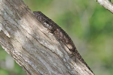 lizard Texas Spiny Lizard Sceloporus olivaceous Krenmueller Farms Grandma Trudy's Ranch Lower Rio Grande Valley TX IMG_0179