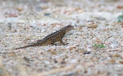 lizard Texas Spiny Lizard Sceloporus olivaceous Krenmueller Farms Grandma Trudy's Ranch Lower Rio Grande Valley TX IMG_0194