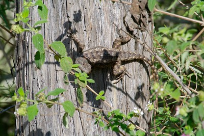 lizard Texas Spiny Lizard Sceloporus olivaceous Krenmueller Farms Grandma Trudy's Ranch Lower Rio Grande Valley TX IMG_0127