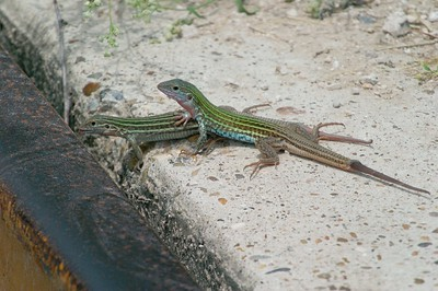 Texas Spotted Whiptail (Aspidoscelis gularis, Cnemidophorus gularis)[June; Sick Dog Ranch, near Alice, Texas]