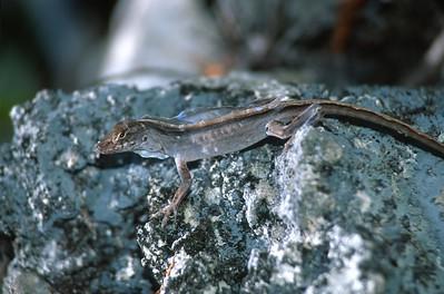 lizard Cuban Brown Anole Anolis sagrei Florida Keys FL SLIDE SCAN REPTILES -12