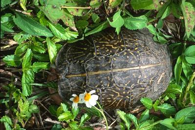 turtle Florida Box Turtle Terrapene carolina Everglades National Park FL SLIDE SCAN REPTILES -15