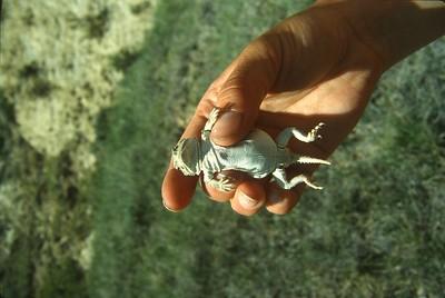 lizard Northern Short Horned Lizard Teddy Roosevelt National Park ND SLIDE SCAN REPTILES -18