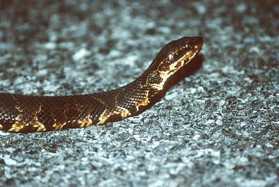 snake Cottonmouth Agkistrodon piscivorus Everglades National Park FL SLIDE SCAN REPTILES -11