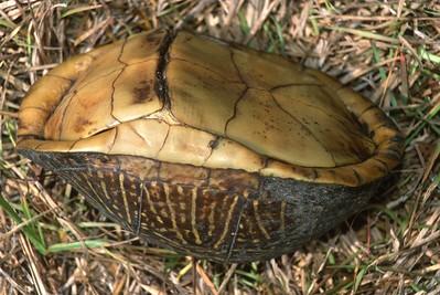 turtle Florida Box Turtle Terrapene carolina Everglades National Park FL SLIDE SCAN REPTILES -14