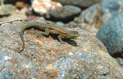 snake Rattlesnake southern CA SLIDE SCAN REPTILES -03