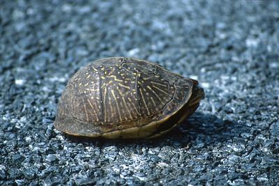 turtle Florida Box Turtle Terrapene carolina Everglades National Park FL SLIDE SCAN REPTILES -17