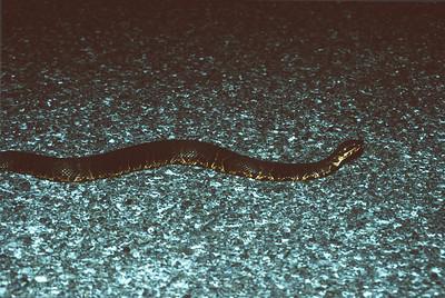 snake Cottonmouth Agkistrodon piscivorus Everglades National Park FL SLIDE SCAN REPTILES -13