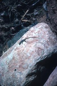 lizard Grand Canyon National Park AZ March 1985 SLIDE SCAN REPTILES -20