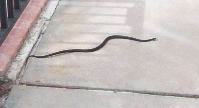 snake Estero Beach Ft  Myers Beach FL IMG_3456