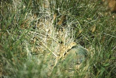lizard Northern Short Horned Lizard Teddy Roosevelt National Park ND SLIDE SCAN REPTILES -10