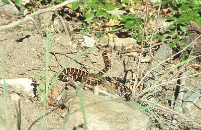 snake Sonoran Mountain Kingsnake SE Arizona AZ SLIDE SCAN REPTILES -02